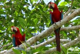 Madidi-Bolivia-Macaw