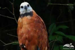 Pampas-Bolivia-Black-Collared-Hawk