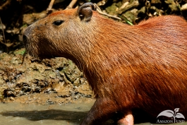 Pampas-Bolivia-Capibara