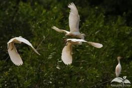 Pampas-Bolivia-Egret-2