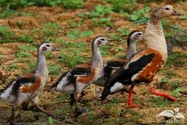 Pampas-Bolivia-Goose