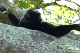 Pampas-Bolivia-Howler-Monkey-2