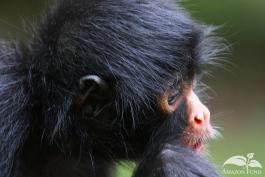 Pampas-Bolivia-Spider-Monkey-2