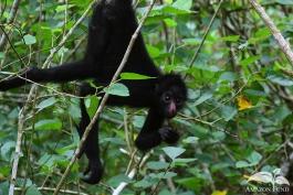Pampas-Bolivia-Spider-Monkey