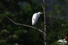 Pampas-Bolivia-Tiger-Egret-3