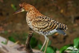 Pampas-Bolivia-Tiger-Heron-3