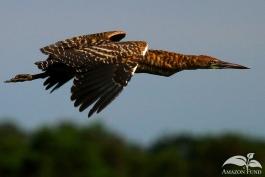 Pampas-Bolivia-Tiger-Heron-4