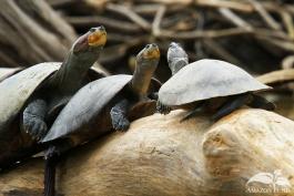 Pampas-Bolivia-Turtle
